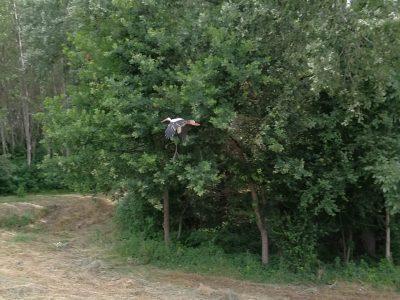 Il y a beaucoup de cigognes en Hongrie