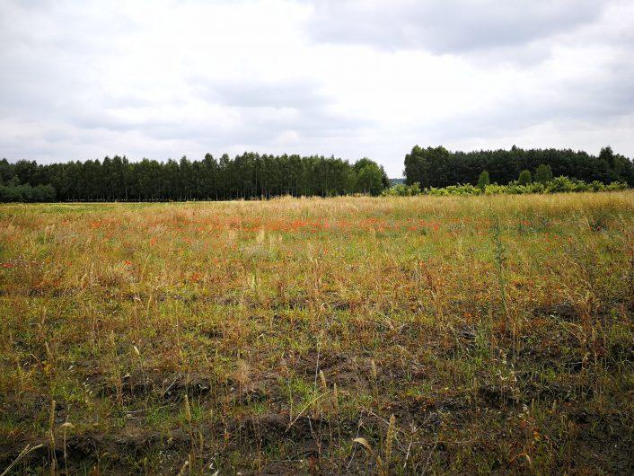 Contraste entre les champs de coquelicots et le ciel gris